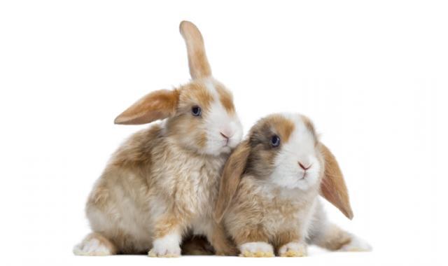 Foto Vaccino Mixomatosi per il Coniglio