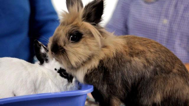 Foto Sterilizzare il Coniglio: quando e perchè