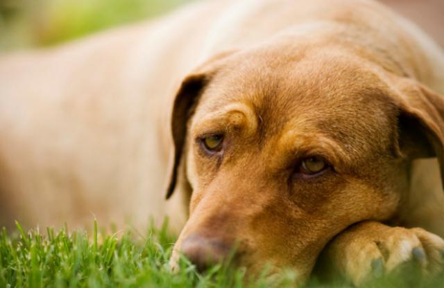 Foto La malattia glomerulare nel Cane: cause e trattamento