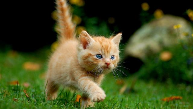 Foto Perchè dovrei castrare il Gatto?