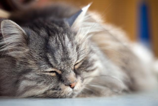 Foto Quanto può vivere un Gatto con Leucemia Felina?