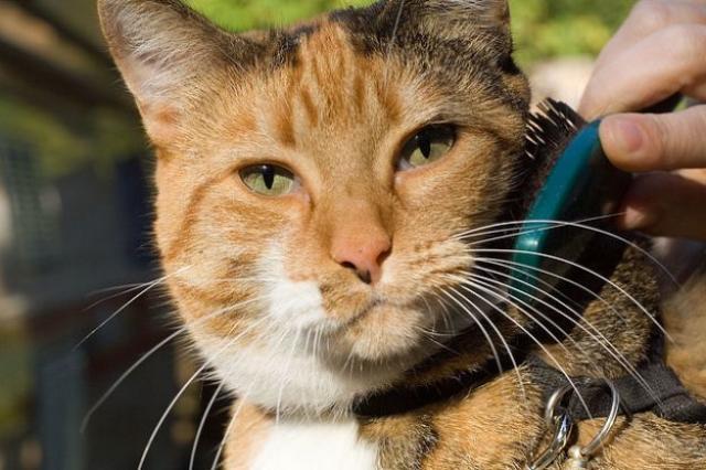 Foto Come si spazzola il Gatto. I nostri consigli.