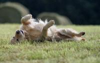 Foto Allergia da pulci nel Cane