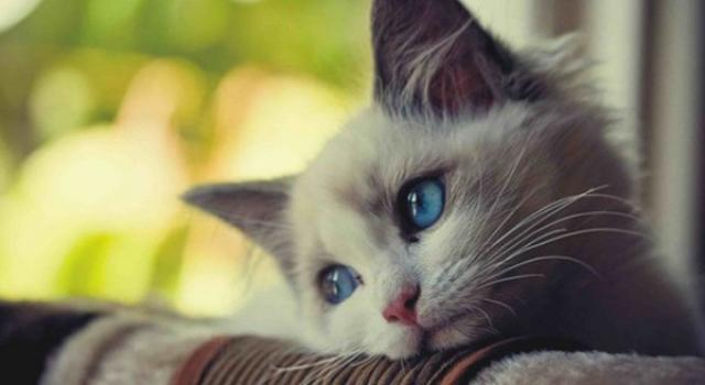 Foto Gastrite nel Gatto: cause e trattamento