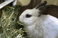 Foto Perchè il Coniglio non mangia fieno?