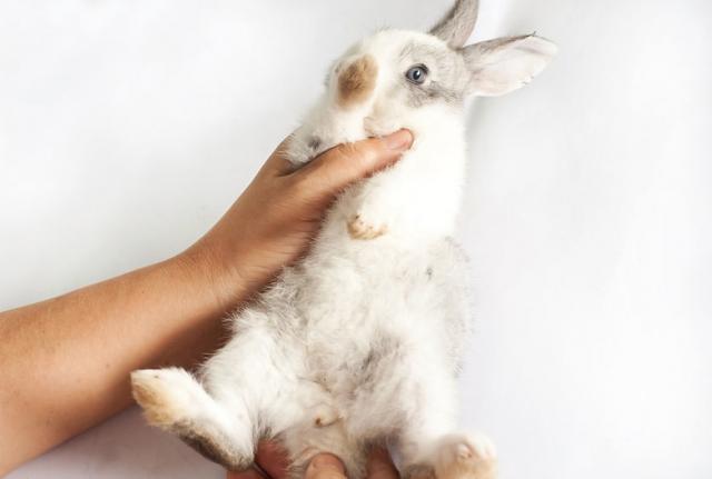 Foto Riconoscere se un Coniglio è maschio o femmina. Il sesso del tuo peloso.