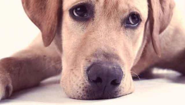 Foto Meningite asettica nel Cane: sintomi, cause e trattamento