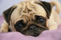 Foto Cuccioli con diarrea: cause e trattamento
