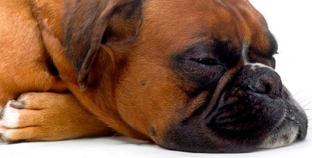 Foto Il cane soffre di ipotiroidismo?