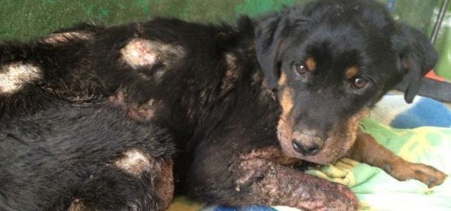 foto curare ferita cane