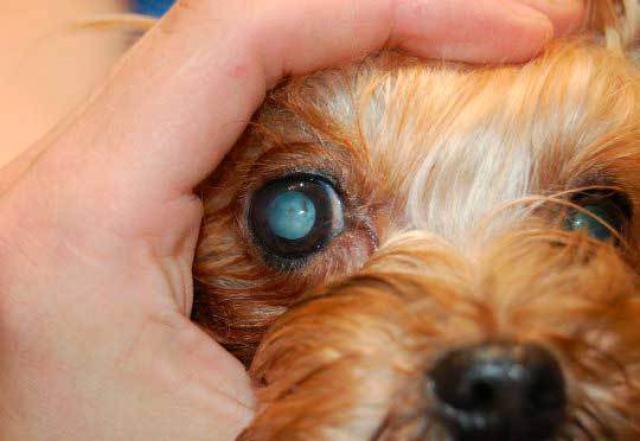 Foto Cause degli occhi appannati nel cane
