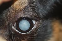 foto cane occhi opachi
