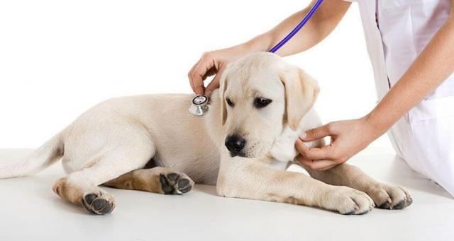 Foto Perchè il cane ha nausea?