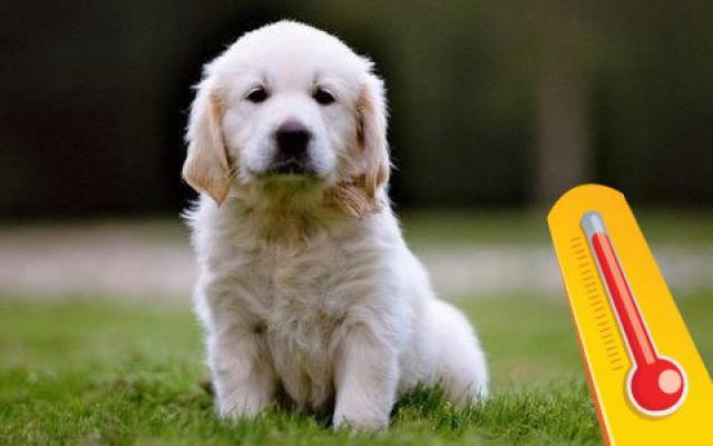 Foto Cosa fare se il Cane ha la febbre?