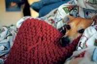 foto cane febbre