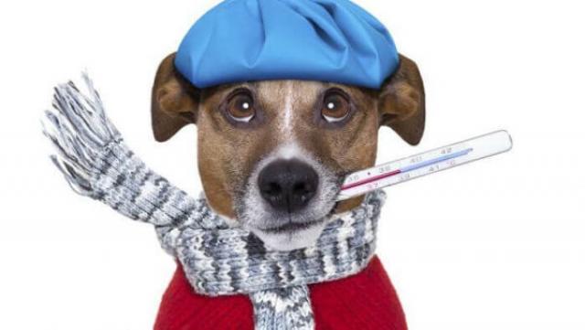 Foto Cosa fare se il cane è raffreddato