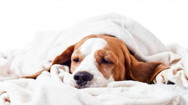 Foto Il cane vomita giallo: cause e trattamento