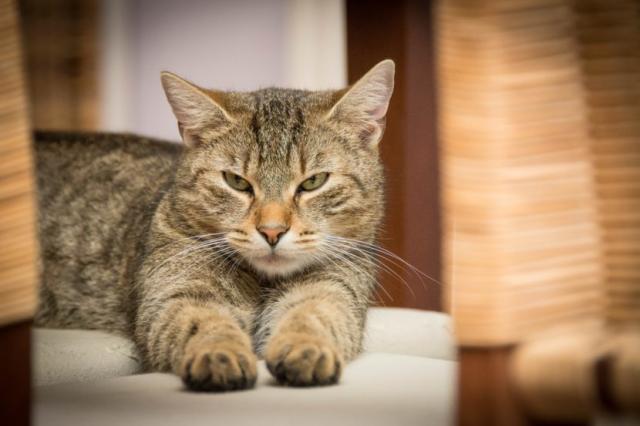 Foto Gatto non fa cacca: cause, sintomi e trattamento