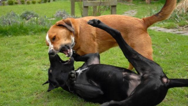 foto cane aggressivo