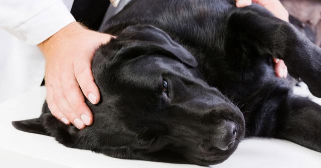 farmaco per la giardia del parassita del cane