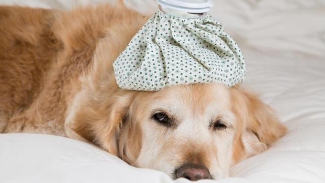 foto cane febbre alta