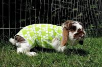 Foto Castrazione del Coniglio maschio