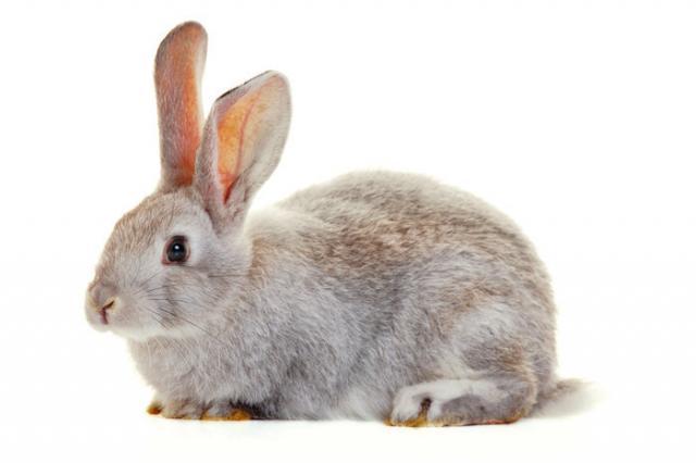 Foto Pidocchi nel Coniglio