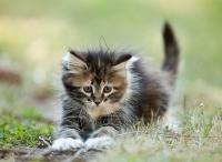 Foto Stipsi (stitichezza) nel Gatto