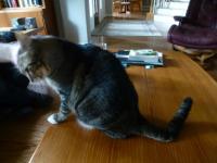 Foto Problemi alla coda del Gatto
