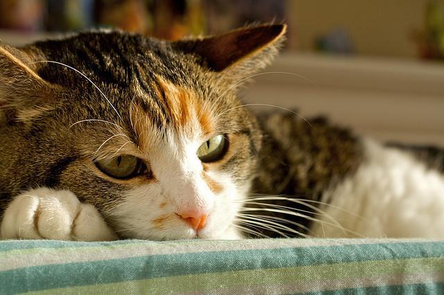 Foto epatite gatto