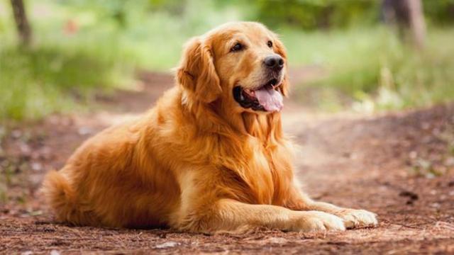 foto cane Golden Retriever