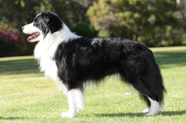 foto cane Border Collie