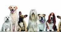 Foto Le 10 razze di cani più intelligenti