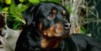 foto cane Rottweiler