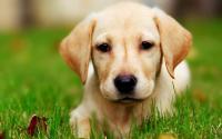 foto cane Labrador