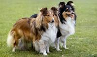 foto cane Pastore delle Shetland