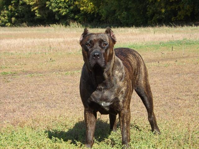 foto cane dogo canario