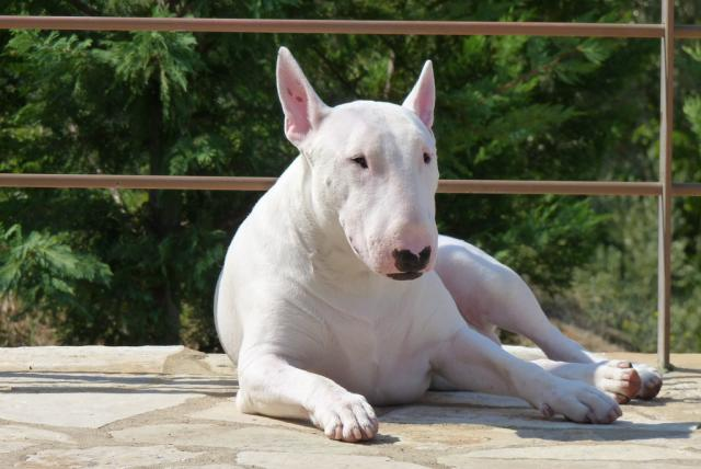 foto cane bull terrier