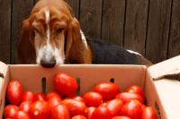 foto cane mangia pomodori