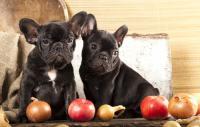 Foto Il Cane può mangiare frutta?