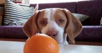 foto cane mangia arance