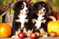 Foto Il Cane può mangiare mele?