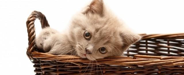 foto gatto cesta