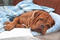 Foto Ostruzione intestinale nel Cane