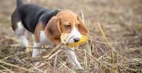 cane mangia pannocchia di mais