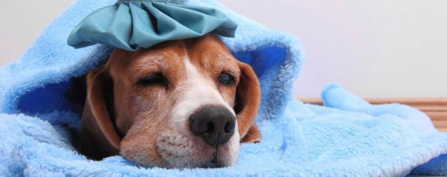 foto cane con influenza