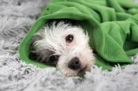 Foto Il cane può prendere l'influenza?