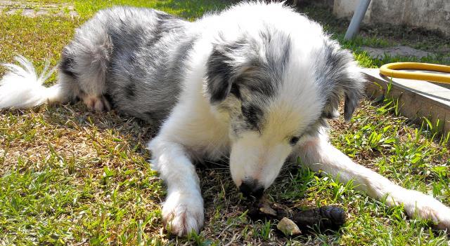 Foto Perchè il cane mangia le proprie feci?