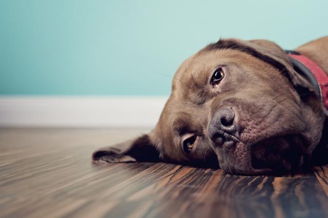 Foto Cosa fare se il cane è stitico?