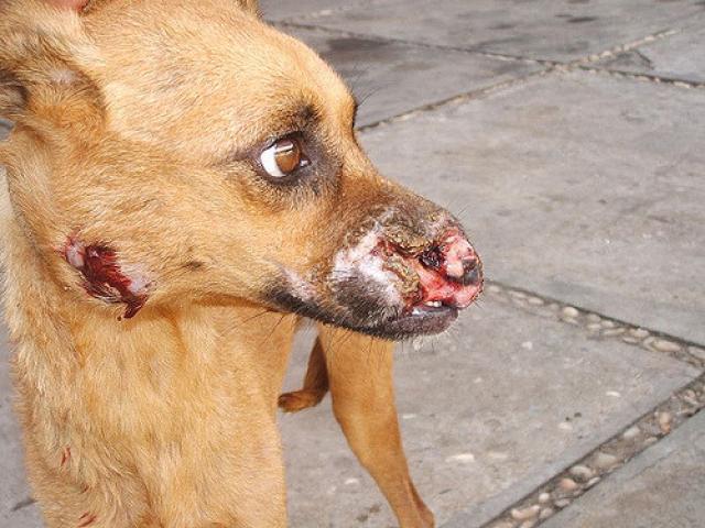 Foto Leishmaniosi canina: sintomi, cause e trattamento